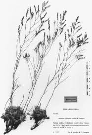Two new species of Limonium (Plumbaginaceae) from the island of ...