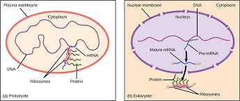 Translation Vs Transcription Venn Diagram 16 2b Prokaryotic Versus Eukaryotic Gene Expression