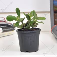feng shui plant office. Lucky Money Attracting Feng Shui Table Top Office Desk Plant N