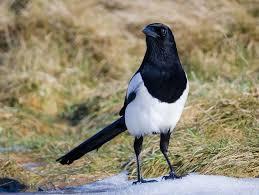 magpie cull trap causes furious debate