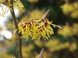 witch hazel guide winter flowering