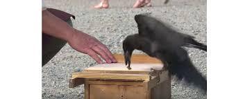 Вороны-дворники учат нас заботиться о чистоте - Wikipet