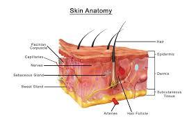 Human Skin Anatomy Cross Section Diagram Chart Cool Wall Decor Art Print Poster 36x24