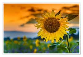 Premium Poster Sonnenblume Am Abend