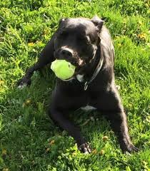 american bulldog lab mix. Simple American A Black American Bullador Is Laying Outside In The Grass With A Tennis Ball  Its  Inside Bulldog Lab Mix O