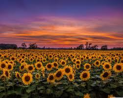 Sunset Sunflower Wallpaper Hd