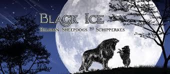 belgian sheepdogs black ice belgian sheepdogs and schipperkes breeder akc puppies washington state