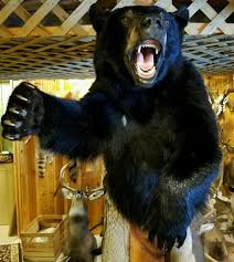 charging black bear front half for 1800 00