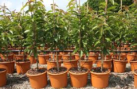 most fruit trees can be grafted or budded onto dwarfing rootstocks which holds the tree back from getting too big all the best apple varieties such as