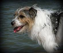 jack russell terrier mix black. Delighful Mix An Example Of A Rough Coated Jack Russell Terrier Inside Terrier Mix Black