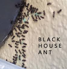 Small Red Ants In Kitchen Little Black Ants How To Get Rid Of Small Tiny Black Ants