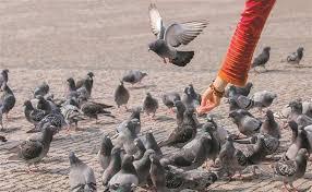 Resultado de imagem para pombos