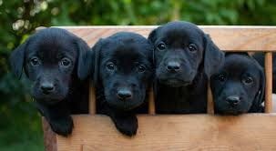 black labrador retriever. Modren Retriever Black Labrador Puppies In Black Labrador Retriever The Site