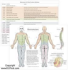 Dermatomal Pattern Cool Myotomes And Dermatomes Selolinkco