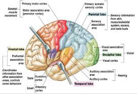 The Human Brain Cortex And Its Parts 16 Download