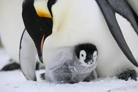 emperor penguin egg. Wonderful Penguin Emperor Penguin Chick Photo Via Gary Miller Australian Antarctic Division In Penguin Egg E