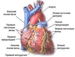 Реферат Сердце  Кровоснабжение сердца осуществляется по двум основным сосудам правой и левой коронарным артериям начинающимся от аорты тотчас выше полулунных клапанов