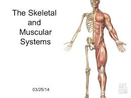Skeletal System Muscle Attachment