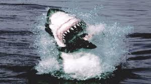 great white shark attack.  Attack Great White Shark Attack And Breach  Planet Earth BBC In R