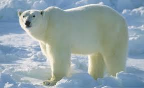 """Résultat de recherche d'images pour """"polar bear"""""""