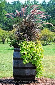 Wine Barrel - Photo by David Wetzel. The Pennisetum and sweet potato vine  are classic