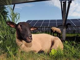 Companies team up to allow sheep to graze at Mendon solar farm - News -  MetroWest Daily News, Framingham, MA - Framingham, MA