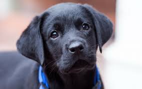 lab puppy wallpapers. Plain Puppy BLACK PUPPIES  Cute Black Puppy Wallpapers Pictures Photos Images Intended Lab