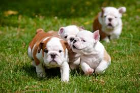 cute dogs and puppies.  And Bulldog To Cute Dogs And Puppies T