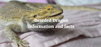 Bearded Dragon Information And Facts Exoticdirect