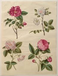 American Rose Size Chart Rose Symbolism Wikipedia