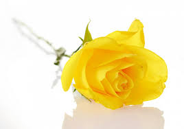 yellow rose high quality wallpaper most beautiful roses hd