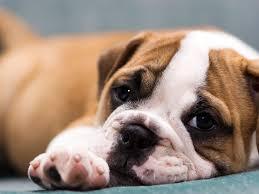cute english bulldog puppy wallpaper photo 2