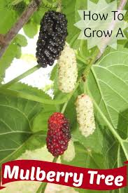 WHITE BEAUTY MULBERRY TREE  Just Fruits And ExoticsMulberry Tree No Fruit