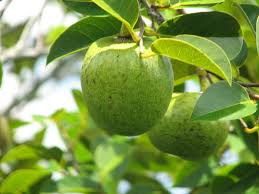 Custard Apple Fruit On Tree Annona Squamosa Stock Photo Annona Fruit Tree