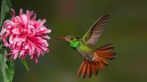 costa rican hummingbird
