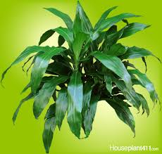 dark green shiny dracaena janet craig