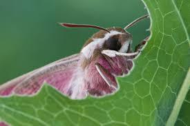 бражник фото бабочка