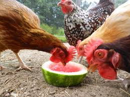 Best 25 Keeping Ducks Ideas On Pinterest  Duck Coop Backyard How To Keep Backyard Chickens
