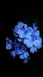 Blue flowers, petals, black background ...