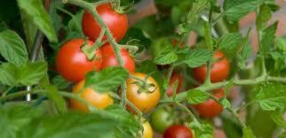ما هى طريقة زراعة الطماطم بدون تربة
