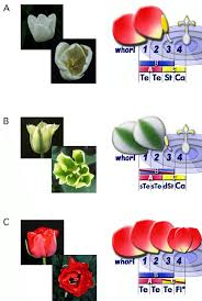 various tulip flowers left and the