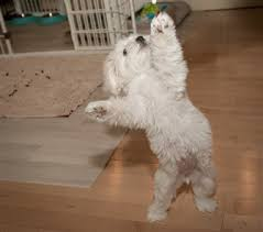 maltese dog. exercise tips for maltese puppies and dogs dog