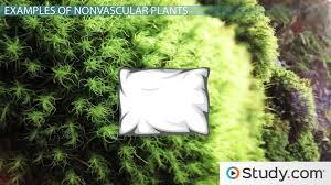 nonvascular plants examples definition characteristics lesson transcript study com