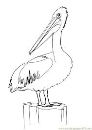 Small Picture Pelican Bird Coloring Page Pictures Pelican Pinterest