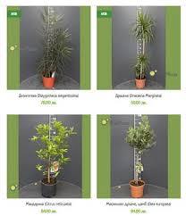 Макар да не спадат точно в категорията стайни цветя, има и други интересни растения, които можем да си отглеждаме спокойно и да ползваме с удоволствие в кухнята. Stajni Rasteniya Zeleno Bg