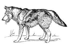 Kleurplaat Wolf Afb 22785 Images