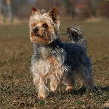 yorkshire terrier or yorkie