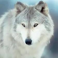 "Sayko.wolf.13 🐺👑 on Instagram: ""Aauuu!!🐺👿 0-F13👑 Feroz Tarde!!⛅🙏💛😎  #lobo #lobo🐺 #wolf #lupo #otso #vuk #loup #lupus #l… | Aggressive dog,  Animals, Wolf dog"