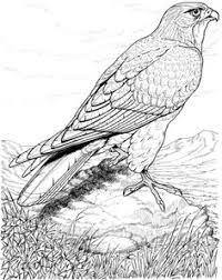 Small Picture Realistic printable drawing pages of hawk in hard Bird Coloring