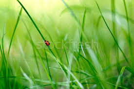 grass blade close up. Stock Photo: Red Bug Climbing A Blade Of Grass In Green Scenery Close Up